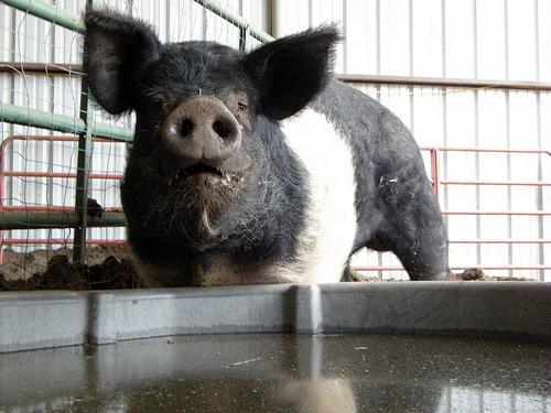 Yo Yo, the 700+ lbs Pig